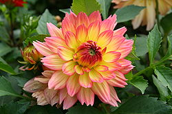 منشأ وتاريخ الداليا 250px-Kwiat_Dalii